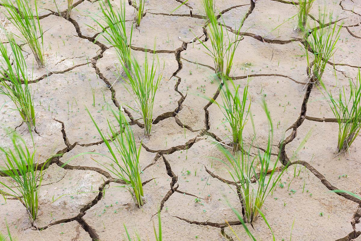 Stock photo: Cracked rice field due to drought.